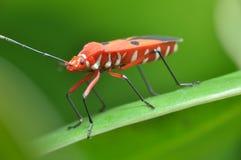 Macro insetto Fotografia Stock