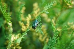 Macro insetto dello scarabeo Fotografia Stock Libera da Diritti