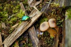 Macro insetto dello scarabeo Fotografie Stock