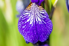 Macro of an Iris sibirica Stock Image
