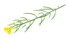 Macro isolata della pianta e del fiore gialli e verdi della senape Fotografie Stock Libere da Diritti