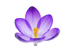 Isolated Crocus Blossom Royalty Free Stock Photography