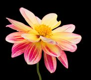 Isolated dahlia flower blossom. Macro of an isolated dahlia flower blossom Royalty Free Stock Photo