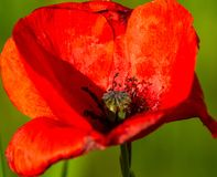 Macro isolated Poppy in bloom royalty free stock images