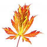 Isolated red leaf of a japanese maple tree Stock Images