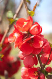 Macro of Japanese Quince Stock Photos