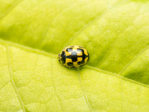 Macro jaune de coccinelle Photo stock