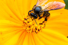 Macro jaune de fleur de cosmos dans le jardin Photographie stock