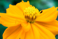Macro jaune de fleur de cosmos dans le jardin Photos stock