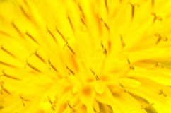 Macro jaune de fleur de pissenlit Photographie stock