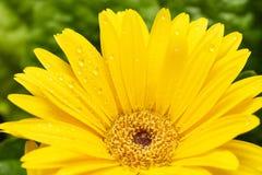 Macro jaune de marguerite de Gerber avec des gouttelettes d'eau sur les pétales Haut proche de Gerbera Fond de fleur images libres de droits