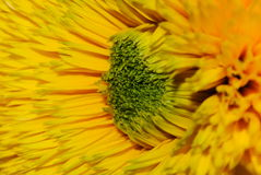 Macro jaune de plan rapproché de fleur Photos libres de droits