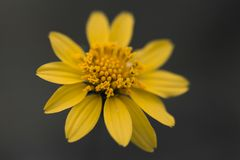 Macro jaune de studio de pétales de marguerite image libre de droits