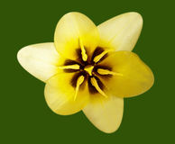 macro jaune de tulipe Photographie stock