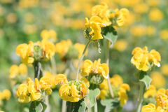 Macro of a Jerusalem Sage. Phlomis Royalty Free Stock Images
