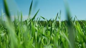 Macro jeunes tiges vertes de blé ondulant par lueur de vent en soleil clips vidéos