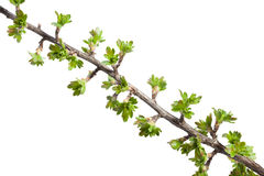 Spring blooming branch Stock Images