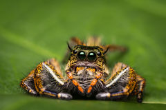 Macro of jumper spider on green leaf. Royalty Free Stock Images