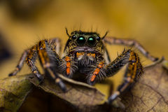 Macro of jumping spider. Stock Photo