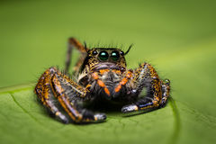 Macro of jumping spider. Royalty Free Stock Images