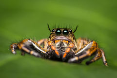 Macro of jumping spider. Stock Photo