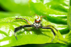 Macro of jumping spider Royalty Free Stock Photo