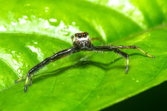 Macro of jumping spider Royalty Free Stock Images