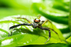 Macro of jumping spider Royalty Free Stock Image