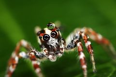Macro of a jumping spider with water drop on head Stock Images