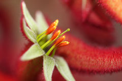 Kangaroo Paw Flower Stock Photo