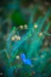 Macro Kleine Blauwe Azure Flower Botanical Green Summer Stock Fotografie
