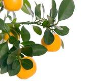 Macro kleine sinaasappel op boom Stock Afbeelding