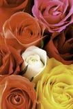 Macro kleurrijk nam bloemblaadjes toe Royalty-vrije Stock Afbeeldingen