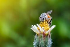 Macro la abeja con el fondo y la luz del sol de la naturaleza Foto de archivo libre de regalías