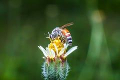 Macro la abeja con el fondo y la luz del sol de la naturaleza Fotos de archivo