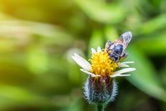 Macro la abeja con el fondo y la luz del sol de la naturaleza Fotografía de archivo libre de regalías