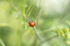 Macro Ladybird Climbing on Foliage. Stock Photography