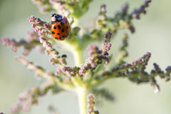 Macro ladybird Royalty Free Stock Photography