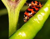 Macro-Ladybird ( Coccinella transversalis ) on green pepper Stock Images