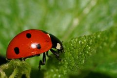 Macro of ladybird on a leaf. Macro of a Caucasian red ladybird on a green leaf in summer royalty free stock photos