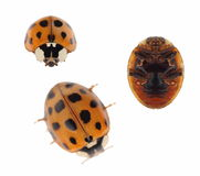 Macro ladybug Asian beetle Royalty Free Stock Photos