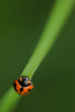 Macro ladybug/della coccinella Fotografie Stock