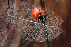 Macro of ladybug on dry transparent leaf Royalty Free Stock Image