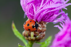 Macro a ladybug on a flower Royalty Free Stock Photos