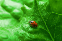 Macro of ladybug on the fresh green leaf Stock Photos