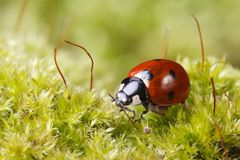 Macro ladybug on grass in spring Royalty Free Stock Photo