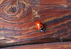 Macro of ladybug on old wooden surface Royalty Free Stock Photo