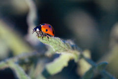 Macro of ladybug on a plant. In the morning sun Royalty Free Stock Photography