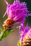 Macro the ladybug sits on a flower Stock Photography