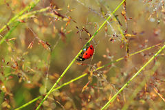 Macro the ladybug sits on a grass Royalty Free Stock Photos